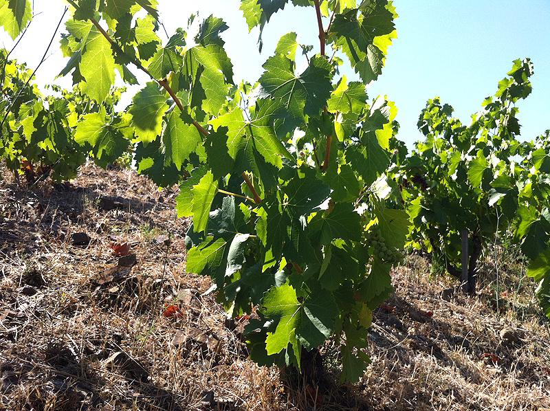 Cepa de los viñedos Capafons-Ossó