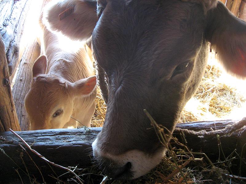 Una vaca y su pequeño ternero