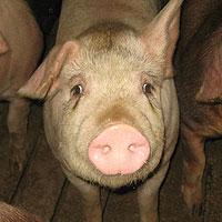 La Rovira, cría de cerdos
