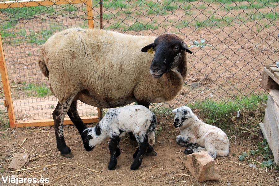 Oveja con un par de corderitos recién nacidos en Can Casellas