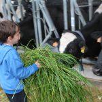 Alimentando a las vacas de la Granja La Coromina