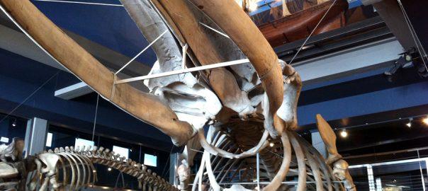 Esqueletos de cetáceos en la entrada del museo