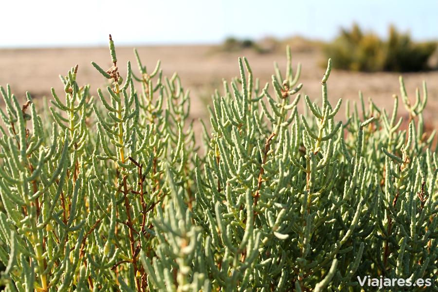 Vegetación ultra resistente al salitre y a la falta de agua