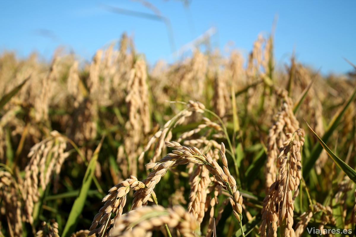 Campo de arroz a punto para la cosecha