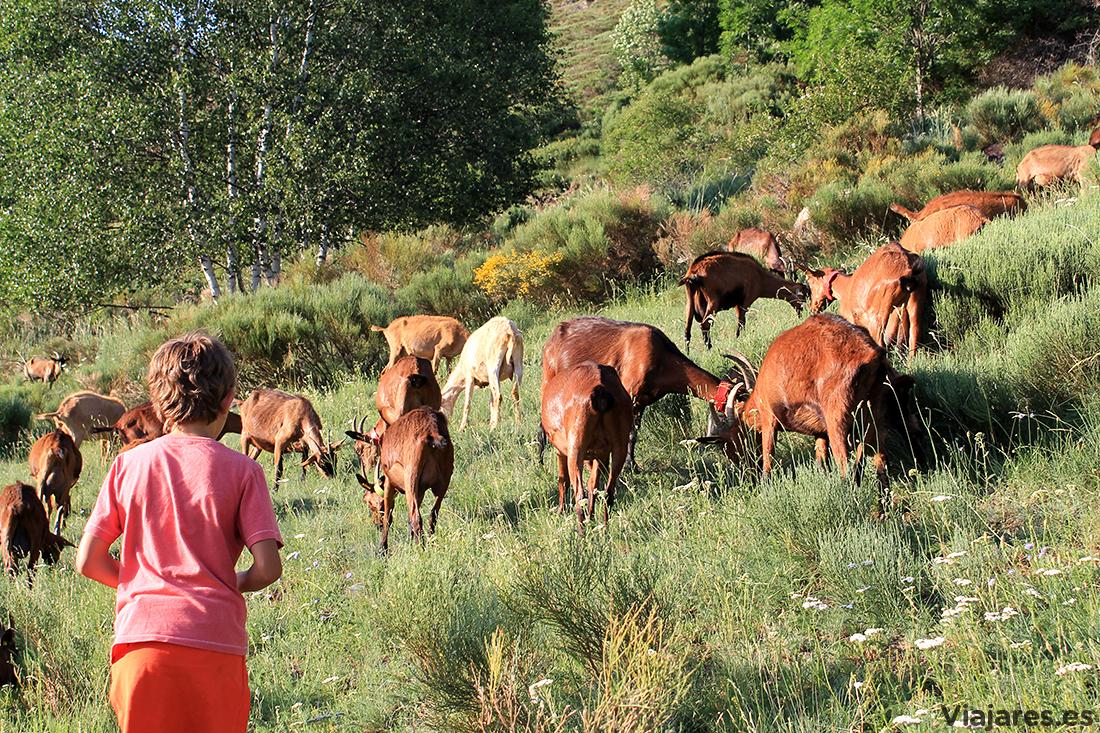 Las cabras del pastor del pueblo de Gavàs