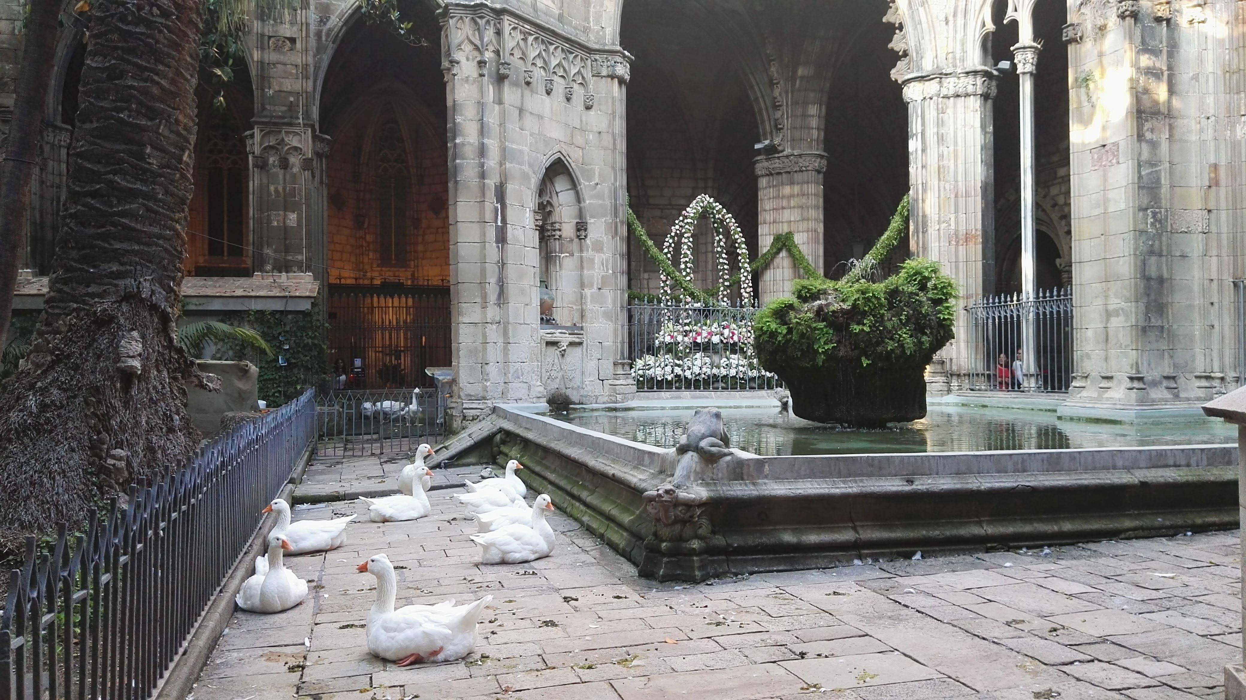Las ocas que habitan en el claustro de la Catedral de Barcelona